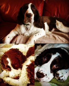 Chloe the Springer Spaniel, our official Lost in a Pot food sampler and mascot.