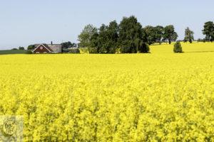 A rapeseed field in full bloom.