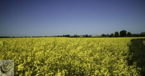 A beautiful image of rape seed fields in Sweden.