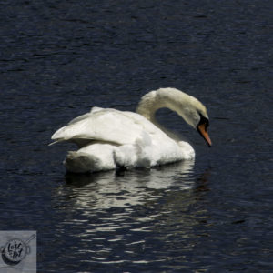 Swan in the lake.