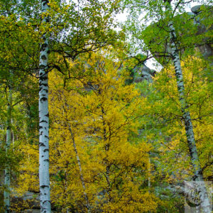 A view of a Siberian forest with the leaves turning gold for fall.